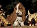 Basset Hound Puppy Poster by Lynn M. Stone