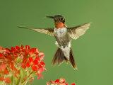 Ruby Throated Hummingbird,Male Feeding on Kalanchoe Flower, New Braunfels, Texas, USA Affiche par Rolf Nussbaumer