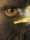 Golden Eagle (Aquila Chrysaetos) Close up of Eye, Cairngorms National Park, Scotland, UK Premium Photographic Print by Pete Cairns