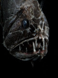 Fangtooth, Bathypelagic Fish (Anoplogaster Cornuta), Deep Sea Atlantic Ocean Print by David Shale