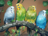 Four Budgerigars (Melopsittacus Undulatus) Reproduction photographique par  Reinhard