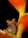 Chachi Tree Frog, Choco Forest, Ecuador Print by Pete Oxford