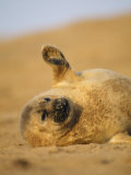 Grey Seal Pup 'Waving' Paw, England, UK Print by Niall Benvie
