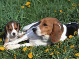 Beagle with Puppies in Grass Print by Lynn M. Stone