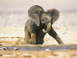 African Elephant Calf on Knees by Water, Kaokoland, Namibia Photographie par Tony Heald