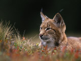 Young European Lynx Waking up Among Bilberry Plants, Sumava National Park, Bohemia, Czech Republic Photographic Print by Niall Benvie