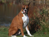 Boxer Dog Sitting, Illinois, USA Photographic Print by Lynn M. Stone