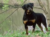 Rottweiler Dog in Woodland, USA Photo by Lynn M. Stone