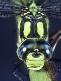 Southern Hawker Dragonfly (Aeshna Cyanea) Male, Close-Up of Eyes, UK Photographic Print by Kim Taylor