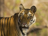 Tiger Portrait, Bandhavgarh National Park, India Photographic Print by Tony Heald
