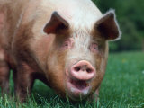 Domestic Pig, Europe Photographic Print by  Reinhard