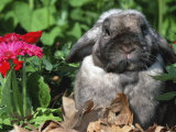 Mini Rex Domestic Rabbit Photographic Print by Lynn M. Stone