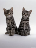 Domestic Cat, Two 8-Week Tabby Kittens, Male and Female Photographic Print by Jane Burton