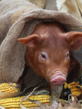 Domestic Pig in Sack, Mixed Breed, USA Photographic Print by Lynn M. Stone