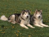 Two Alaskan Malamute Dogs, USA Posters by Lynn M. Stone