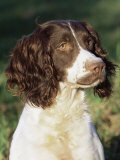 English Springer Spaniel Dog, USA Prints by Lynn M. Stone