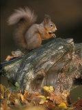 Red Squirrel, Autumn, Cairngorms National Park, Scotland Fotografisk tryk af Pete Cairns