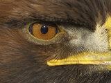 Golden Eagle Adult Portrait, Close up of Eye, Cairngorms National Park, Scotland, UK Prints by Pete Cairns