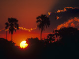 Palm Trees Silhouetted at Sunset, Okavango Delta, Botswana Photographic Print by Pete Oxford