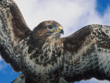 Female Common Buzzard with Wings Outstretched, Scotland Photographic Print by Niall Benvie