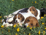 Beagle with Puppies in Grass Posters by Lynn M. Stone