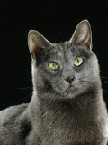 Domestic Cat, Russian Blue Female Photographic Print by Jane Burton