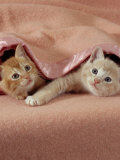 Domestic Cat, Ginger and Cream Kittens Under a Pink Blanket, Bedroom Prints by Jane Burton