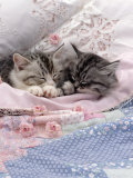 Domestic Cat, Two Chinchilla-Cross Kittens Sleeping in Bed Prints by Jane Burton