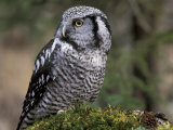 Northern Hawk Owl, Alaska, Us Photographic Print by Lynn M. Stone