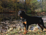 Rottweiler Dog, Illinois, USA Photographic Print by Lynn M. Stone