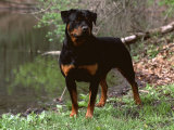 Rottweiler Dog in Woodland, USA Prints by Lynn M. Stone