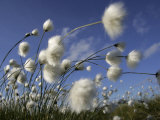 Cotton Grass, Blowing in Wind Against Blue Sky, Norway Plakater af Pete Cairns