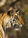 Tiger, Head Profile, Bandhavgarh National Park, India Photographic Print by Tony Heald