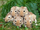 Dometic Gerbils (Meriones Unguiculatus) Poster by Reinhard 