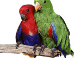 Young Eclectus Parrots, Female Left, Male Right, 12-Wks-Old Photographic Print by Jane Burton