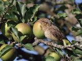 European Wryneck in Apple Tree, Switzerland Photographic Print by Rolf Nussbaumer