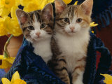 Domestic Cat, Two Tabby-Tortoiseshell-And-White Kittens in Blue Bag with Daffodils Photographic Print by Jane Burton