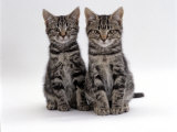 Domestic Cat, Two 8-Week Tabby Kittens, Male and Female Posters by Jane Burton