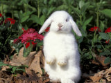 Pet Domestic Holland Lop Eared Rabbit Photographic Print by Lynn M. Stone
