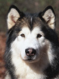 Alaskan Malamute Dog Portrait, Illinois, USA Posters by Lynn M. Stone