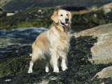 Golden Retriever Dog on Coast, Maine, USA Posters by Lynn M. Stone