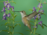 Rufous Hummingbird, Female Feeding on Purple Angelonia Paradise, Chiricahua Mountains, Arizona, USA Photographic Print by Rolf Nussbaumer