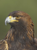 Golden Eagle (Aquila Chrysaetos) Adult Portrait, Cairngorms National Park, Scotland, UK Photographic Print by Pete Cairns