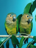 Orange-Cheeked Conures (Aratinga Pertinax Chrysophrys) Prints by Reinhard 