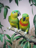 Salvadori's Fig Parrots, Pair (Psittaculirostris Salvadorii) Photographic Print by  Reinhard