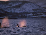 Killer Whales Spouting, Tysfjord, Norway Photographic Print by Solvin Zankl