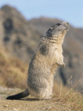 Alpine Marmot Calling, Switzerland Prints by Rolf Nussbaumer