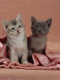 Domestic Cat, Blue Ticked Tabby and Burmese Kittens Under Pink Blanket, Bedroom Posters by Jane Burton