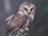 Northern Saw-Whet Owl, Alaska, Us Fotoprint van Lynn M. Stone