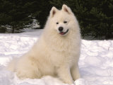 Samoyed Dog in Snow, USA Photographic Print by Lynn M. Stone
